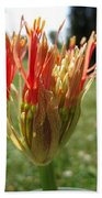 From Bud To Bloom - African Blood Lily Beach Towel