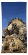 Galapagos Giant Tortoise Mating Alcedo Beach Towel