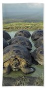 Galapagos Giant Tortoises Wallowing Beach Towel
