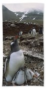 Gentoo Penguin And Chicks South Georgia Beach Towel