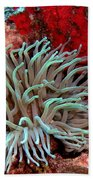 Giant Green Sea Anemone Against Red Coral Beach Towel