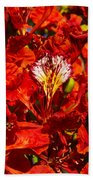 Giant Poinciana Blooms Beach Towel