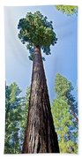 Giant Sequoia In Mariposa Grove In Yosemite National Park-california  Beach Towel