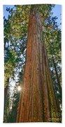 Giant Sequoia Trees Of Tuolumne Grove In Yosemite National Park. Beach Towel
