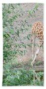 Giraffe Drinking Beach Towel