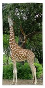 Giraffe Eats-09053 Beach Towel
