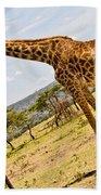 Giraffe Walking To Their Tree Beach Towel by Perla Copernik