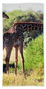 Giraffes On Savanna Eating. Safari In Serengeti Beach Towel