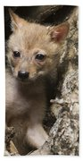 Golden Jackal Canis Aureus Cubs 2 Beach Towel