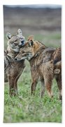 Golden Jackal Canis Aureus Beach Towel