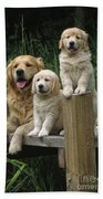 Golden Retriever Dog With Puppies Beach Towel