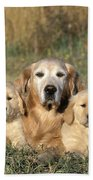 Golden Retriever With Puppies Beach Towel