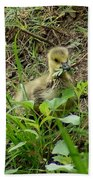 Gosling Chewing On Some Grass Beach Towel