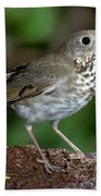 Gray-cheeked Thrush Catharus Minimus Beach Towel