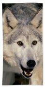 Gray Wolf Canis Lupus, Minnesota Beach Towel