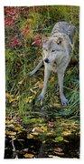 Gray Wolf Drinking Beach Towel