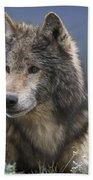 Gray Wolf Resting North America Beach Towel