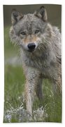 Gray Wolf Walking Through Water Beach Towel