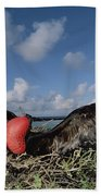 Great Frigatebird Female Eyes Courting Beach Towel