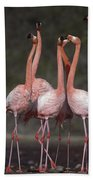 Greater Flamingo Group Courtship Dance Beach Towel