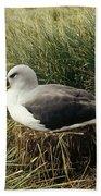 Grey-headed Albatross Nesting Chile Beach Towel