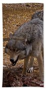 Grey Wolf   #2637-signed Beach Towel
