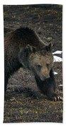 Grizzly Bear  #2510 Beach Towel