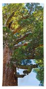 Grizzly Giant Sequoia Top In Mariposa Grove In Yosemite National Park-california    Beach Towel