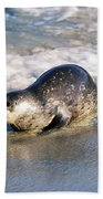 Harbor Seal Beach Towel