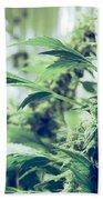 Home Grown Cannabis Plants. Beach Towel