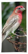 House Finch At Rest Beach Towel
