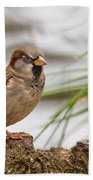 House Sparrow Passer Domesticus On The Perch Beach Towel