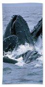 Humpback Whales Gulp Feeding On Herring Beach Towel