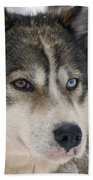 Husky Dog Breading Centre Beach Towel by Lilach Weiss