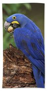 Hyacinth Macaw Eating Piassava Palm Nuts Beach Towel
