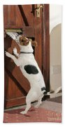 Jack Russell Terrier Gets Paper Beach Towel
