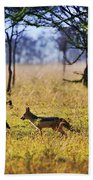 Jackals On Savanna. Safari In Serengeti. Tanzania. Africa Beach Towel