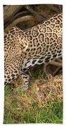 Jaguar Panthera Onca Foraging Beach Towel