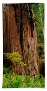 Kevin And The Big Tree - Redwood National Forest Beach Towel