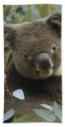 Koala Male In Eucalyptus Australia Beach Towel