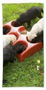 Labrador Puppies Eating Beach Towel