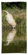 Labrador Puppy Drinking Beach Towel