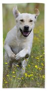 Labrador Running Beach Towel
