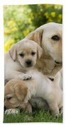Labrador With Young Puppies Beach Towel