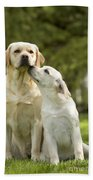 Labradors, Adult And Young Beach Towel
