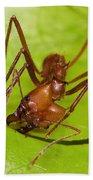 Leafcutter Ant Cutting Leaf Costa Rica Beach Towel