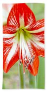 Lensbaby 2 Orange Red And White Amaryllis Blooms Beach Towel