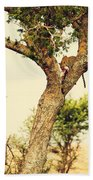 Leopard Eating His Victim On A Tree In Tanzania Beach Sheet