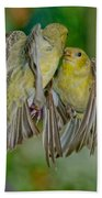 Lesser Goldfinch Females Fighting Beach Towel