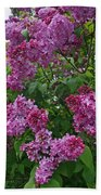 Lilacs At Hulda Klager Lilac Garden Beach Towel